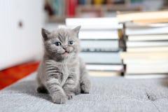 Gattino e libri di Britannici Shorthair Fotografie Stock