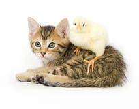 Gattino e pulcino del bambino Fotografie Stock
