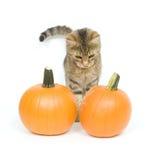 Gattino e zucche Fotografie Stock Libere da Diritti