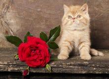 Gattino esotico Fotografia Stock Libera da Diritti