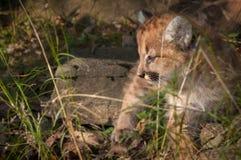 Gattino femminile del puma & x28; Concolor& x29 del puma; Guarda a sinistra in erba Fotografia Stock Libera da Diritti