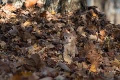 Gattino in foglie immagine stock