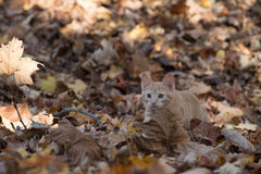 Gattino in foglie immagini stock