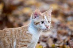 Gattino in foglie fotografia stock libera da diritti