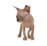 Gattino glabro di Don Sphinx Immagine Stock