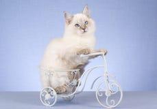 Gattino grazioso di Ragdoll sulla bicicletta miniatura Fotografie Stock Libere da Diritti