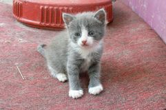 Gattino grigio fotografie stock