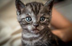 Gattino grigio Immagini Stock Libere da Diritti