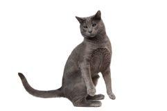 Gattino grigio affumicato Fotografie Stock Libere da Diritti