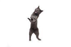 Gattino grigio affumicato Fotografia Stock