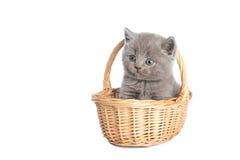 Gattino grigio britannico dei breve-capelli in un cestino Fotografie Stock Libere da Diritti
