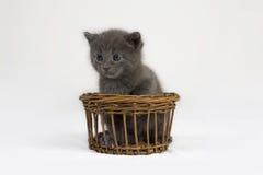 Gattino grigio in cestino Immagini Stock Libere da Diritti