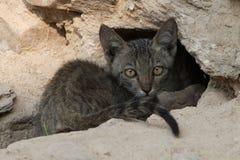 Gattino grigio che fissa sospettoso Fotografia Stock Libera da Diritti