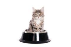 Gattino grigio in ciotola di un cane immagine stock