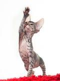 Gattino grigio di uno sphinx che gioca su un tappeto rosso immagini stock libere da diritti