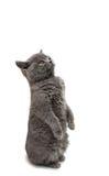gattino grigio isolato Immagini Stock Libere da Diritti