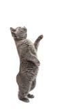 gattino grigio isolato Fotografia Stock