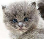 Gattino grigio piacevole Immagini Stock Libere da Diritti
