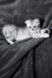 Gattino grigio sveglio di sonno sul letto Gatto scozzese dalle orecchie pendenti Fotografie Stock Libere da Diritti