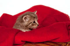 Gattino grigio triste Immagine Stock