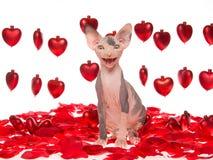 Gattino hairless di risata di Sphynx con i cuori rossi immagini stock