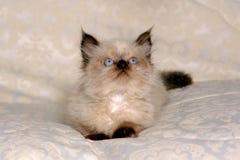 Gattino Himalayan II Fotografia Stock