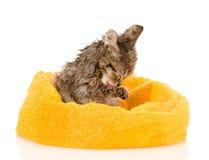 Gattino inzuppato sveglio dopo un bagno Isolato su priorità bassa bianca immagini stock