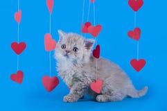 Gattino isolato su un fondo blu Fotografia Stock
