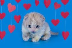 Gattino isolato su un fondo blu Fotografie Stock Libere da Diritti
