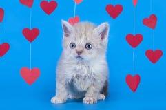 Gattino isolato su un fondo blu Immagini Stock Libere da Diritti