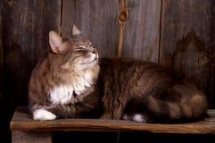 Gattino lanuginoso Fotografia Stock