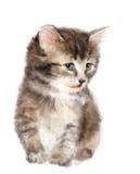 Gattino lanuginoso illustrazione vettoriale