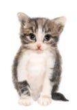 Gattino lanuginoso royalty illustrazione gratis