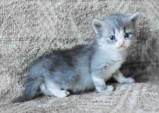 Gattino lanuginoso grigio Fotografie Stock Libere da Diritti