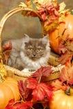 Gattino lanuginoso in un cestino di autunno Fotografia Stock