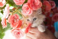 Gattino leggero lanuginoso dello zenzero in mani Immagine Stock