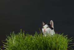 Gattino nel germe di grano Fotografia Stock