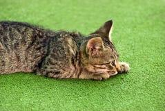 Gattino nell'agguato Fotografia Stock Libera da Diritti