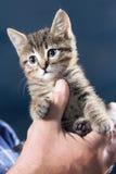 Gattino nelle mani Fotografie Stock Libere da Diritti