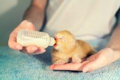 Gattino neonato piccolo d'alimentazione con il succedaneo del latte immagine stock libera da diritti