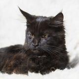 Gattino nero del procione lavatore della Maine che posa sulla pelliccia bianca del fondo Fotografia Stock