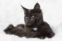 Gattino nero del procione lavatore della Maine che posa sulla pelliccia bianca del fondo Immagini Stock
