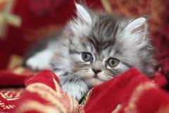 Gattino persiano Immagini Stock Libere da Diritti