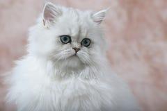 Gattino persiano 2 Immagini Stock