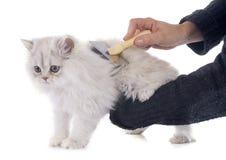Gattino persiano Fotografie Stock