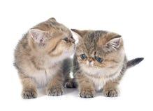 Gattino persiano Fotografia Stock