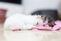 Gattino persiano Fotografia Stock Libera da Diritti