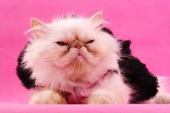 Gattino persiano Immagine Stock Libera da Diritti