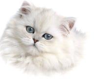 Gattino persiano bianco Immagini Stock