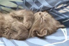 Gattino persiano grigio Fotografia Stock